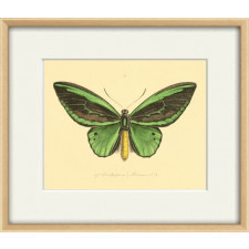 Butterflies Antique Butterfly Schmetterling A3