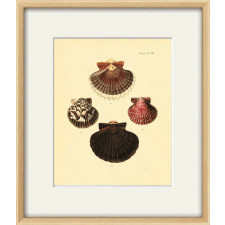Seashell Vintage prints old prints shell A3 poster